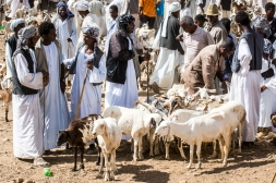 Mercato bestiame-7
